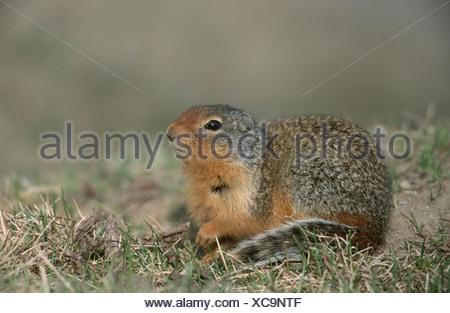 Columbian Ground Squirrel (Citellus columbianus), portrait of a single animal, lying, Canada, Alberta - Stock Photo