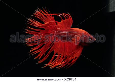 (Betta splendens), male on black background. crown tail red variety - Stock Photo