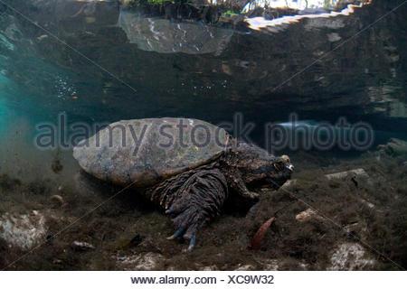 USA, Florida, Crystal River, common snapping turtle - Stock Photo