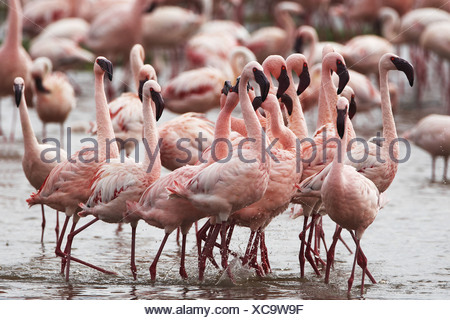 lesser flamingo (Phoenicopterus minor), group in the lake, Kenya, Lake Nakuru National Park - Stock Photo