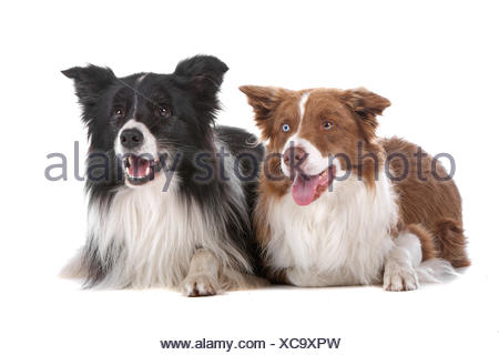 two border collie sheepdogs - Stock Photo