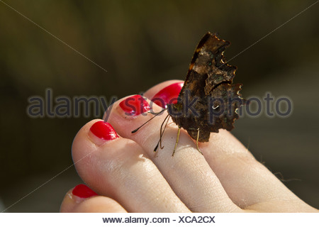 comma (Polygonia c-album, Comma c-album, Nymphalis c-album), sitting on a foot with the nails painted red sucking minerals, Germany, Bavaria - Stock Photo