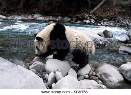 Giant panda walking along riverbank, Sichuan, China - Stock Photo