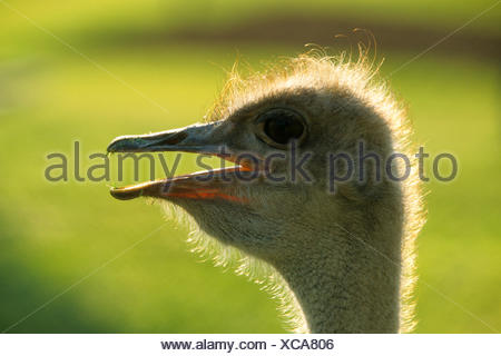ostrich (Struthio camelus), portrait, side view, Kenya, Masai Mara National Park - Stock Photo