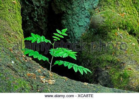European mountain-ash, rowan tree (Sorbus aucuparia), seedling growing between roots of an old beech, Germany, Hesse, Urwald Sababurg, Reinhardswald - Stock Photo