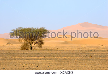 Lone Acacia tree in the sand with mountain against blue sky - Stock Photo