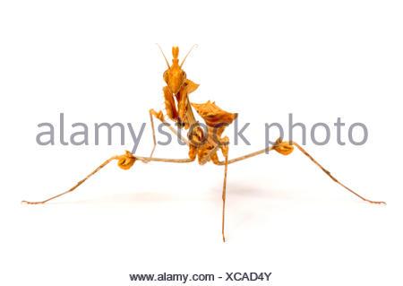 Wandering violin mantis, Indian rose mantis (Gongylus gongylodes), cut-out - Stock Photo