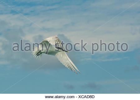 A tern flies in the Gracias a Dios Province, Honduras. - Stock Photo