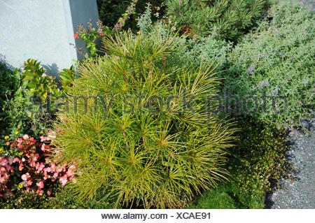 Sciadopitys verticillata, Umbrella pine - Stock Photo
