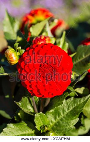 Dahlia (Dahlia sp.), Hesse, Germany - Stock Photo