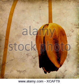 Withered tulip flower, vintage-look - Stock Photo