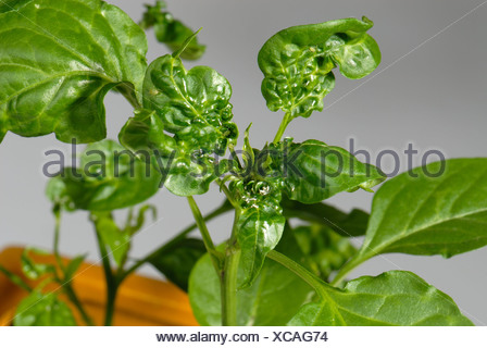 Glasshouse potato aphid Aulacorthum solani damage to growing tip of a chilli pepper plant - Stock Photo