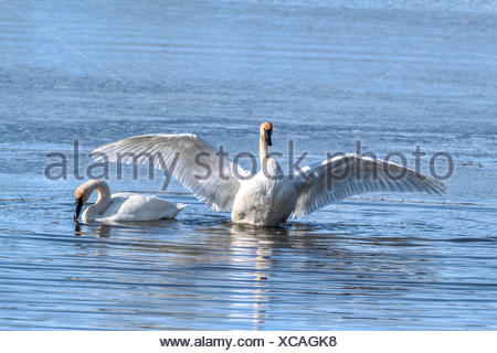 Trumpeter Swan (Cygnus buccinator) Beautiful white Trumpeter Swan,  in a blue lake,  finished preening and now flapping wings to dry off. Rural, Alberta, Canada - Stock Photo