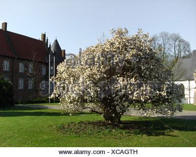 star magnolia (Magnolia stellata), blooming shrub in the palace garden of Herten, Germany, North Rhine-Westphalia, Ruhr Area, Herten - Stock Photo