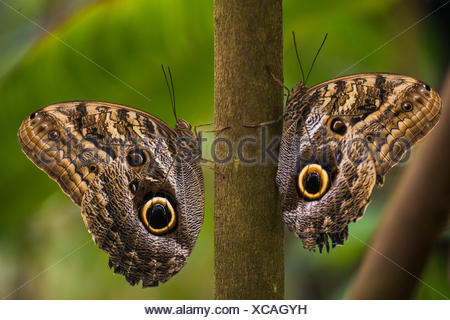 Two Forest Giant Owl butterflies (Caligo eurilochus), perched on a branch opposite each other, Manaus, Amazonas State, Brazil - Stock Photo