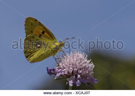 Colias crocea, Common Clouded Yellow on Scabious - Stock Photo
