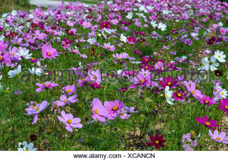 Coloured flowers at the tropical  island Taketomi in Japan - Stock Photo