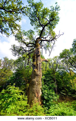 common oak, pedunculate oak, English oak (Quercus robur), old oak in ancient forest Sababurg, Germany, Hesse, Reinhardswald - Stock Photo