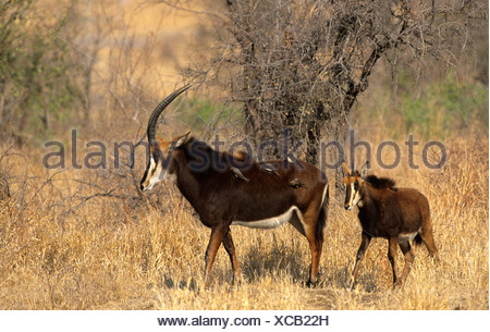 Sable (Hippotragus niger), female adult and calf, Kruger National Park, South Africa, Africa - Stock Photo