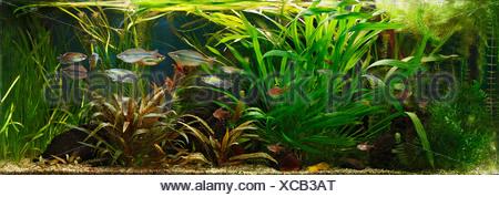 Germany, Fish swimming in fresh water aquarium - Stock Photo