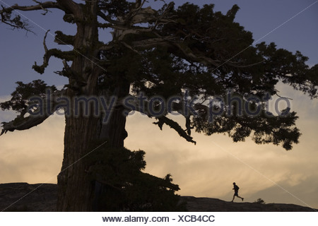 A silhouette of a runner and tree at sunset on Donner Summit in California - Stock Photo