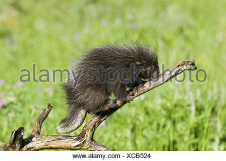 Baby porcupine on branch (Erethizon dorsatum) - Stock Photo