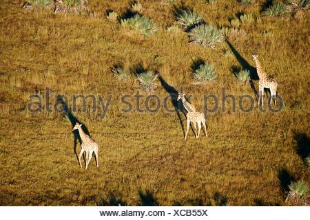 Aerial view of Giraffe group running (Giraffa camelopardalis angolensis) with shadow at sunrise, Okavango delta, Botswana, Africa. - Stock Photo