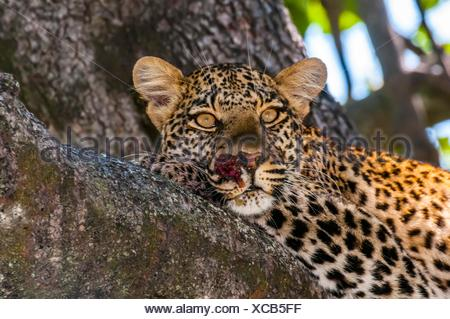 Leopard sitting in a tree, Kwando Concession, Linyanti Marshes, Botswana. - Stock Photo