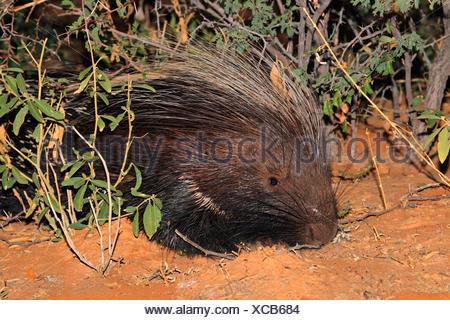 Portrait of a Cape porcupine (Hystrix africaeaustralis), South Africa - Stock Photo