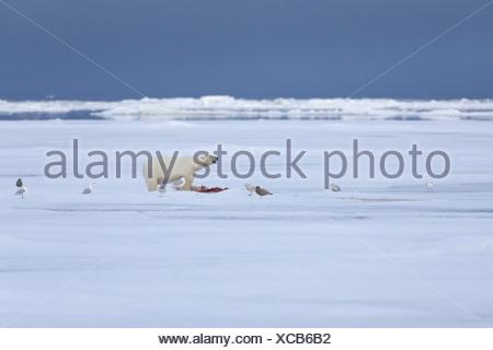 Polar Bear Ursus maritimus adult feeding prey Glaucous Gulls Larus hyperboreus scavenging standing pack ice habitat Spitsbergen - Stock Photo