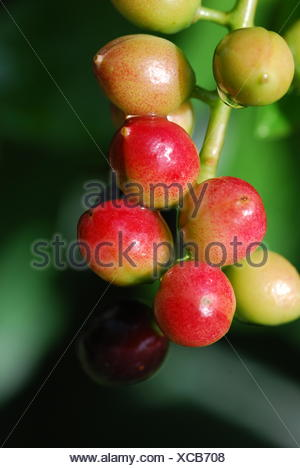 laurel cherry (prunus laurocerasus) - Stock Photo