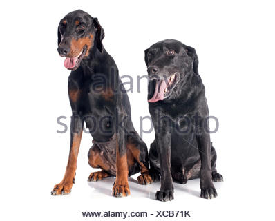 purebred  labrador retriever and dobermann in front of a white background - Stock Photo