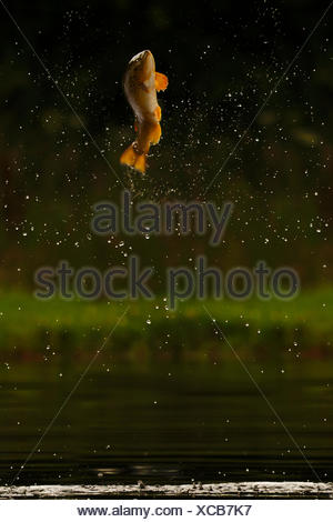 Brown trout (Salmo trutta) jumping for insects, Scotland, UK.. - Stock Photo