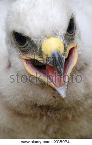 Close-up portrait of a Ferruginous Hawk chick - Stock Photo