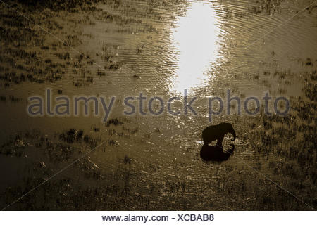 An elephant, Loxodonta africana, drinking in the spillway as the sun sets. - Stock Photo