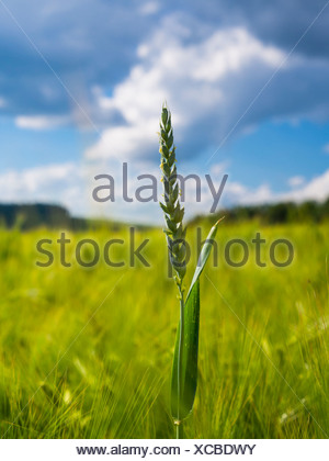Germany, Hesse, Ear of rye, Secale cereale, Rye field, unripe - Stock Photo