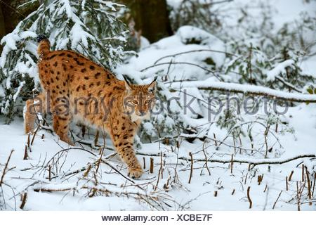 Lynx or Northern lynx (Lynx lynx) walks through the fresh snow-covered forest, animal enclosure, captive - Stock Photo