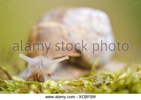 Weinbergschnecke-(Helix-pomatia-Linnaeus)2.jpg - Stock Photo