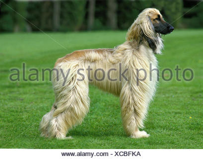 Afghan Hound, Adult standing on Grass - Stock Photo