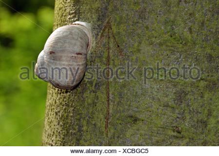 Burgundy snail, Roman snail, edible snail or escargot (Helix pomatia) on a tree trunk, incised arrow pointing upwards - Stock Photo