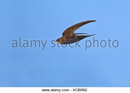 Eurasian swift (Apus apus), in flight, side view, Germany, Baden-Wuerttemberg - Stock Photo