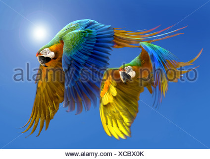 Blue and yellow macaw, Blue and gold Macaw, Blue-and-gold Macaw, Blue-and-yellow Macaw (Ara ararauna), two birds flying in front of the sun at a clear blue sky - Stock Photo