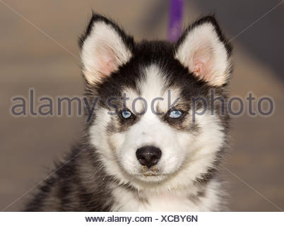 Siberian Husky Puppy With Blue Eyes - Stock Photo