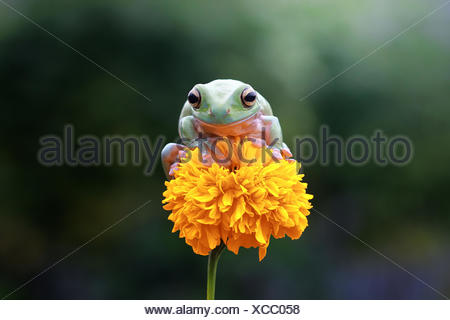 Dumpy tree frog sitting on a flower, Indonesia - Stock Photo