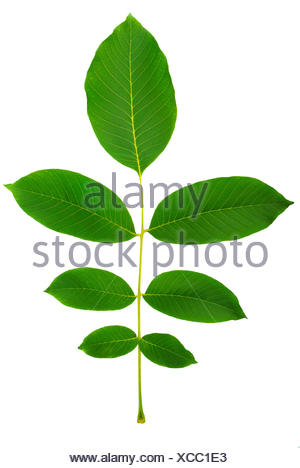 leaf of walnut - Stock Photo