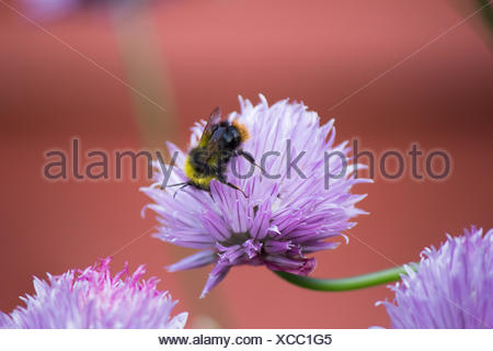 Bumblebee on Onion Chive. Taken in Hertfordshire. - Stock Photo