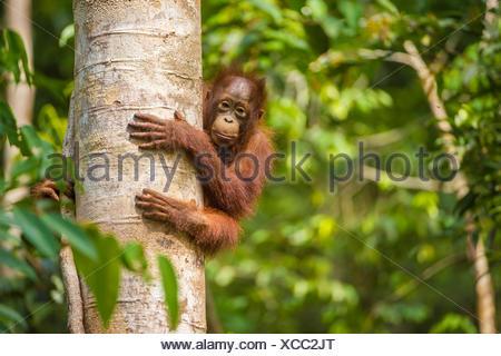 Young Bornean orangutan (Pongo pygmaeus) in tree. Tanjung Puting National Park, Borneo-Kalimatan, Indonesia. Endangered species. - Stock Photo