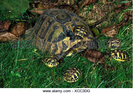 Hermann's Tortoise, testudo hermanni, Female with Youngs - Stock Photo