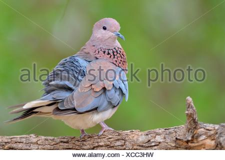 Laughing dove (Spilopelia senegalensis), adult, perched on a branch, Kruger National Park, South Africa - Stock Photo