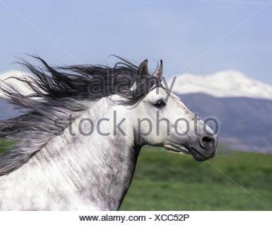 Grey Andalusian stallion head portrait. Colorado, USA. - Stock Photo